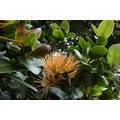 ohia flower native hawaii