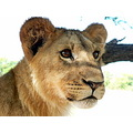 Wildlife Nature Lion AntelopePark Zimbabwe