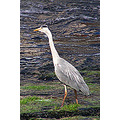 Heron Bandon River Co Cork Ireland Peter OSullivan