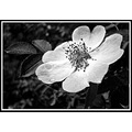 flower rose black white