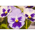 stlouis missouri us flower macro pansy portable garden mine 052310