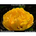 stlouis missouri usa spring flower tulip yellow 042313