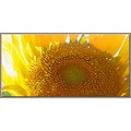 flower sunflower nature