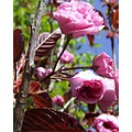 Spring New Life Cherry Blossom Plants My Garden Rob Hickey 2011