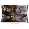 Muscovy duck nature bird carlsbirdclub