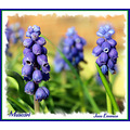 Spring again Muscari Grape Hiacynth