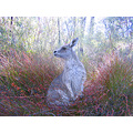kangaroo wildlife nature Australia