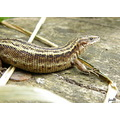 common lizard reptile