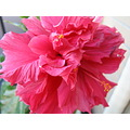 Pink hibiscus veranda of my apartment