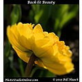 stlouis missouri usa spring flower tulip yellow backlit 042313