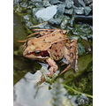Common frog in our pond