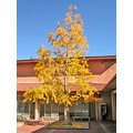 berkeley tree yellow ginkgo autumn uc ucb ucbfph