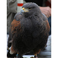 animal birdofprey harrishawk