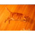 orange cat josefina orangecat wood floor joeyfph milibuhscatclub