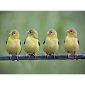 Thank you all for the kind comments but this is photoshop magic!  Same bird, different poses.  I ...