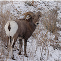 big horn sheep wildlife canada