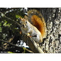 red squirrel animal tree