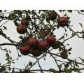 nature tree fruits