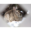 bunny cottontail rabbit