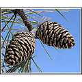 pinecones tree seeds winter
