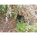 cat garden toyon shrubs gardenfph
