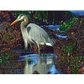 Great Blue Heron, December 9, 2008