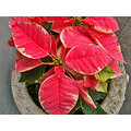 poinsettia pink pinkfph yuletidefriday