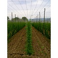 field of hops