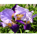 iris irises flowers purple flower maine new england spring perennials