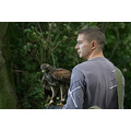 hawk haris hawk hunting hunt tree bird