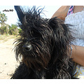 animal black wet dog papagenasdogclub