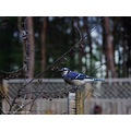 birds bluejay