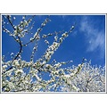 tree white flowers blue sky mirabel springfriday