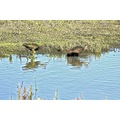 birds Curlew roncarlin SJWildlifeArea ReflectionThursday