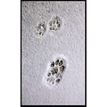 footstep cat snow