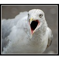 gull seagull herringgull bird beak nature carlsbirdclub somerset somersetdreams