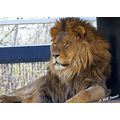 animals lion zoo assiniboinezoo winnipeg canada