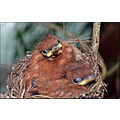 saphira paradise fly catcher paradise fly catcher babies baby birds
