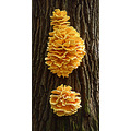 yellow mushrooms curandera