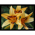 daylily hemerocallis yellow red flower lillianna