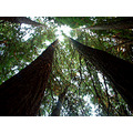 Looking UP Redwoods, along the Skunk Train Tracks, east of Fort Bragg, Ca