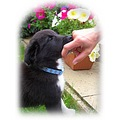 Puppy Border collie cross hand flowers