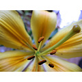 flower closeup lilly yellow