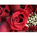 flowers flower roses rose red stlouis mo missouri