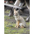 chile puerto montt fox chilean