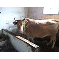 this is my cow which her name is valley rose