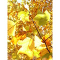 autumn tree oxford leaves