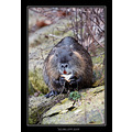 Wildlife Animal Coypu Nutria Winter 2007 Scarlett