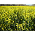 yellow mustard field wildflower