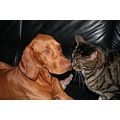 animal animals dog HungarianVizsla catdog cat Anuschka GreyTiger Vizsla Diablo